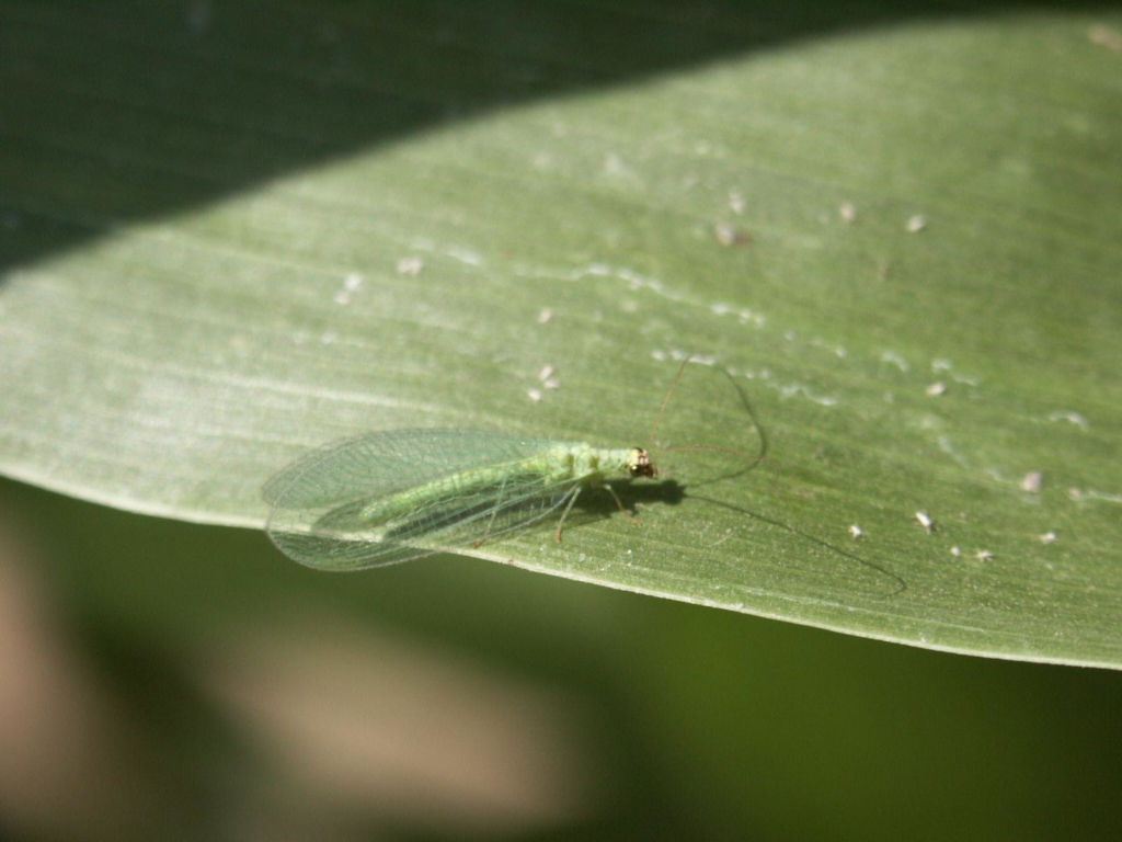 Earth Creations Landscaping Lacewings