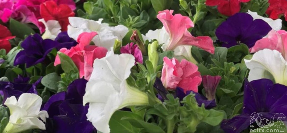 Earth Creations Landscaping Petunias